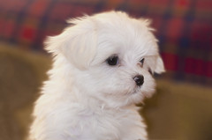Maltese puppy (Eugene Lagana) Tags: ocean park new york city nyc trip travel family blue trees winter light sunset red summer portrait england people music food woman dog sun white house lake flower color macro tree cute green art fall love nature water girl car fashion birds yellow rock museum architecture night clouds canon river garden puppy nude landscape geotagged fun photography zoo graffiti photo model puppies nikon raw photos live fast maltese d7000