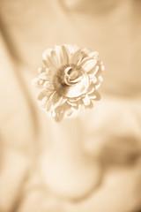 Kiss (SolsticeSol) Tags: flower floral kiss gerbera elegant beautifulflowerpictures beautifulflowerimages glasshersheyskiss