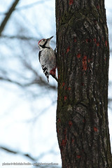 "Woodpecker in Pushkin Park - Picchio rosso nel parco di Pushkin - Пушкин дятел <a style=""margin-left:10px; font-size:0.8em;"" href=""http://www.flickr.com/photos/24828582@N00/8380973427/"" target=""_blank"">@flickr</a>"