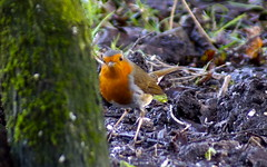 Robin (Rovers number 9) Tags: winter england cold tree nature robin birds minolta bokeh wildlife sony january lancashire a65 2013 biggardenbirdwatch euxton minoltaaf100200f45 bkhq sonya65 jan2013