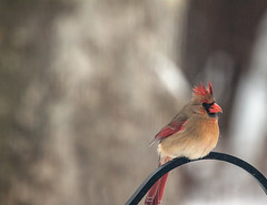 Bad Hair Day (Photo Amy) Tags: winter red snow bird cardinal feeding beak feathers feather windy snowing redbird canoneos50d 100400mmf45f56