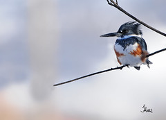 Winter Belted Kingfisher - 8201b+ (teagden) Tags: winter bird photography wildlife kingfisher avian belted beltedkingfisher wildlifephotography 2013 jenniferhall