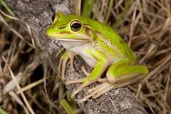 Green and Golden Bell Frog (Litoria aurea) (Gus McNab) Tags: green golden bell frog aurea litoria