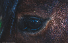 E Q U I N E  E Y E S (Jonhatan Photography) Tags: t3 canon ojo caballo horse eyes explorer 50mm chile