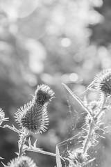 Thistle in the sun (gernot.glaeser) Tags: flowers blackandwhite blur nature monochrome germany blackwhite nikon europe bokeh thistle naturallight depthoffield explore deu niedersachsen lowersaxony monochromeworld