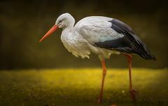 Vorsicht Frauen - der Storch ist unterwegs (ellen-ow) Tags: wirbeltiere tier bird vogel storch weisstorch schreitvogel nikond4 ellenow