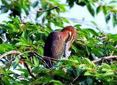 Juvenile Green Heron (cj13822) Tags: juvenilegreenheron bird feather heron lake canon7dmarkii 70300mml canon ef pond green
