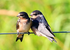 barn swallow fledglings near Norman Borlaug's birthplace IA 854A2863 (lreis_naturalist) Tags: county barn farm howard reis iowa norman larry swallow fledglings borlaug