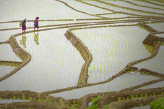 Farmers (Fevzi DINTAS) Tags: farmers farm workers working ladies woman people human riceterrace agriculture growing reflections water rice food basket traditional culture asia thailand travel holiday visit places destinations tourism attractions land lifestyle slowlife paza140 nationalgeographic nature landscape