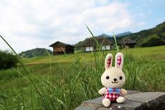Rice Field and Rabbit  (mensore) Tags: landscape rabbit rice field