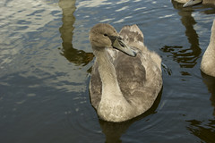 Young swan in Gisketjernet (Svein K. Bertheussen) Tags: svane svaneunge cygnet youngswan swan gisketjern sandnes fugl bird vann water refleksjon reflection