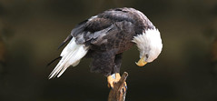 let us worship (Mel's Looking Glass) Tags: eagle bird prey birdofprey bald tree symbolic american freedom praying country