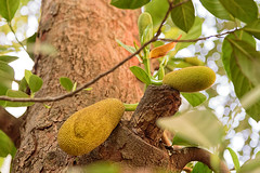 jackfruit ( Artocarpus heterophyllus ) (Nitya...) Tags: 2016 january ranchi family holiday travel weekend jackfruit artocarpusheterophyllus nikon 24120f4 d750 india jharkhand tree fruits leaves bark