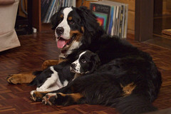 Cooper and Marty's First Play Date (Powerkey) Tags: bernesemountaindogs dogs marty nobleheartbmd cooper canonef70200mmf4lusm