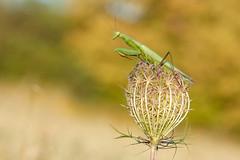 Mante religieuse (Mantis religiosa) (aurelien.ebel) Tags: alsace france insecte mantidae mantodea neoptera