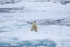 Who is there S24A2267 (grebberg) Tags: polarbear ursusmaritimus bear ursus environment ice seaice iceedge packice arcticocean svalbard