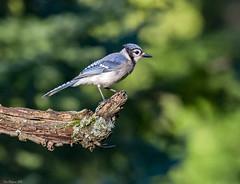 bully pulpit I (wandering tattler) Tags: wildlife fauna bird songbird corvid jay blue bluejay newhampshire 2016 canon7d ef300mmf28lisiiusm