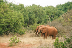 Tsavo East National Park (Denis Plesa) Tags: kenya tsavo tsavoeast tsavoeastnationalpark elephants nature