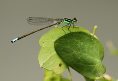 Green Damselfly (Karen_Chappell) Tags: insect green damselfly nature leaf wings pippypark newfoundland nfld summer stjohns canada tiny small