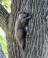Tree Hugger (cullerfuls) Tags: mammal marmotamonax animal marmot woodchuck groundhog whistlepig