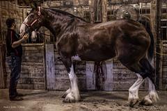 Clyde (jackalope22) Tags: isf iowa stae fair clysdale horse barn