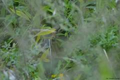 Ukryta....   Sarna młode koźle ( Capreolus capreolus ) (Zdjęć kilka...) Tags: sarna capreolus koźle lasy las wierzchosławice 2016 sierpień lato jesień przyroda natura nature roe deer fotografia przyrodnicza łukasz drobot tarnów małopolska polska poland