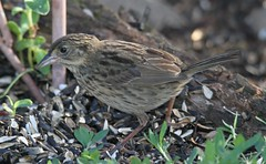 Seaside Sparrow [Atlantic] (Ammospiza maritima maritima) 08-24-2016 9119 Bay Avenue North Beach, Calvert Co. MD 6 (Birder20714) Tags: birds maryland sparrows emberizidae ammodramus maritimus