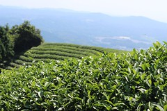 'Heavenly Tea Fields' in Wazuka (Obubu Tea Farms) Tags: countryside fields greentea japan japanesetea tea teafields wazuka