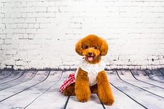 MATCHA LOW-16 (Michiez Chua Petography) Tags: poodle toypoodle singaporedog singapore redpoodle cute dog dogs canon 35mm studio studioshoot dogshoot