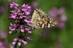 Ricchezza (lincerosso) Tags: fiori flowers praterie prateriedimontagna estate cansiglio farfalle butterflies vanessadelcardo vanessacardui bellezza armonia ricchezza