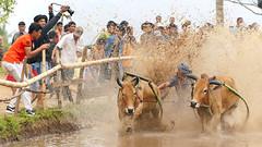 Pacu Jawi - Bull Race (ystan) Tags: pacu jawi bull race weather indonesia tourism arena padang bukittinggi