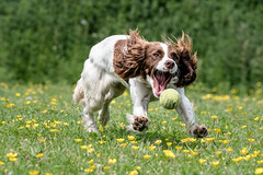 Dog Photography by Gerry Slade-715 (Photography By Gerry Slade) Tags: dogphotographer gerryslade wwwgerrysladecouk springer spaniel nikon d500 nikkor 70200 f28 tennis ball