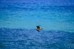 18092016DSC_1133.jpg (Ignacio Javier ( Nacho)) Tags: pginafotografia gaviotas facebook aves flickr faunayflora santander cantabria espaa es