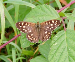 Speckled wood Butterfly. (Alison. Allen) Tags:
