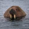 Phipps Island - Walrus Head (Heaven`s Gate (John)) Tags: walrus nature animal arctic ocean circle svalbard norway europe wildlife johndalkin heavensgatejohn tusk water sea cold
