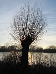 Pollard at sunset; Watermead Park (Flapjack Dave) Tags: willow pollard twilight winter lake