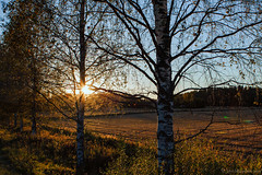 Birches (Joni Mansikka) Tags: autumn nature outdoor sunset light birches branches field trees sky blue september paimio suomi finland canonef2880mmf3556