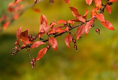 Red Leaves (Karen_Chappell) Tags: red green leaves bokeh berries fall autumn nature stjohns newfoundland nfld pippypark branch leaf
