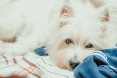 20160917-Em5mk2-75mm-P9170107 (Eternal-Ray) Tags: olympus omd em5 mark ii em52 mzuiko ed 75mm f18  west highland white terrier   dogs