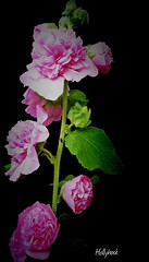 Hollyhock... (Orchids love rainwater) Tags: pink hollyhock hss