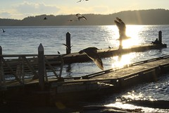 Cardoza-shutter/movement. (rony cardoza) Tags: dusk ocean flying seagulls sea sun reflection moments perfect