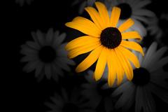 Black-Eyed Susan (timh255) Tags: 1855mm 52weeks flower blackeyedsusan closeup d5200 lightroom nikon plant selectivecolour timhutchinson tripod yellow