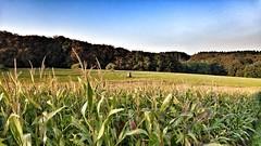 (Brigitte Mackscheidt) Tags: natur landschaft landscape mais hochsitz jger feld gras ebene