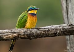 Little Bee-eater, Ethiopia (ebuechley) Tags: scenery wildlife conservation bird birds