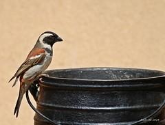 I am waiting for my meal (ruslou (More off than on)) Tags: pretoria southafrica ruslou nature capesparrow passermelanurus gewonemossie