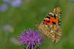 Vanessa cardui - the Painted Lady (BugsAlive) Tags: butterfly butterflies mariposa papillon farfalla schmetterling бабочка conbướm ผีเสื้อ animal outdoor insects insect lepidoptera macro nature nymphalidae vanessacardui paintedlady nymphalinae wildlife wiltshire liveinsects uk