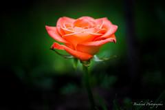 La rose rose. (Bouhsina Photography) Tags: rose flower lumire macro closup canon 5diii ef10028 bouhsina bouhsinaphotogrphy bokeh jardin