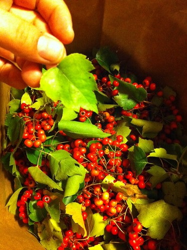 """Freshly picked haws. • <a style=""""font-size:0.8em;"""" href=""""http://www.flickr.com/photos/45675389@N00/8264574935/"""" target=""""_blank"""">View on Flickr</a>"""