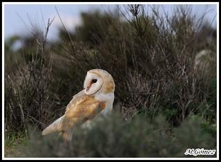 Lechuza comun (Tyto alba)