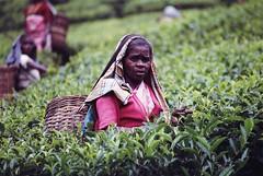 Tea Picker, Sri Lanka (Pix by Anthony) Tags: tea srilanka ceylon teapicking teapickers
